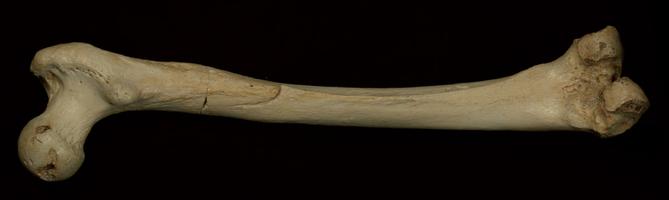 """Fémur encontrado na gruta """"Sima de los Huesos"""" (foto: d.r. Matthias Meyer / Nature)"""