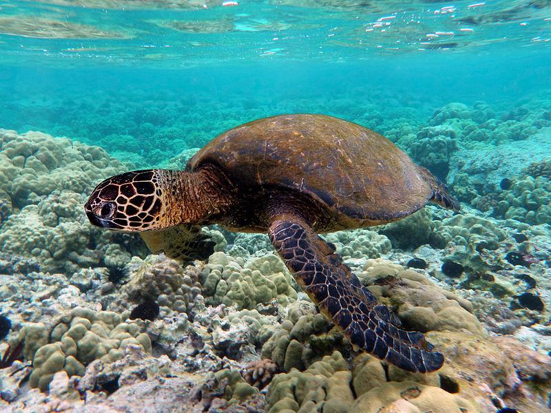 Chelonia mydas, uma das espécies ameaçadas de tartaruga que nidifica nas águas de Moçambique