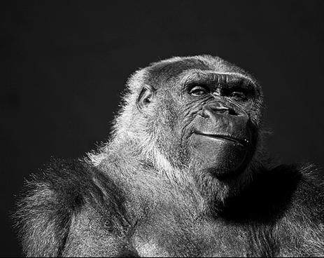 Em grupos de gorilas há apenas um macho e, mesmo que o animal possua um pequeno harém, ele não tem necessidade de grandes testículos , diz estudo