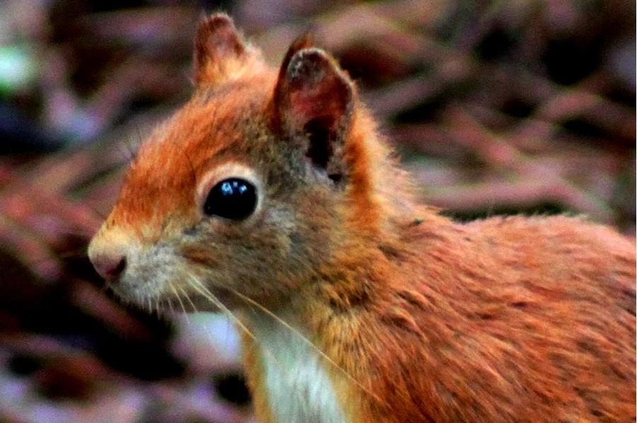 Resultado de imagem para esquilos
