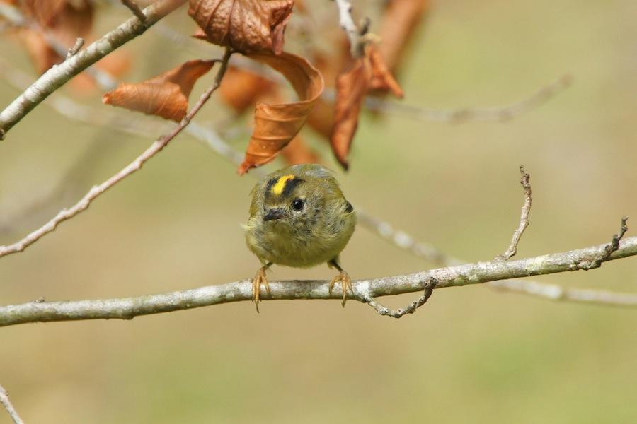 Regulus regulus sanctae-mariae, a Estrelinha de Santa Maria, dos Açores, é a ave mais pequena da Europa