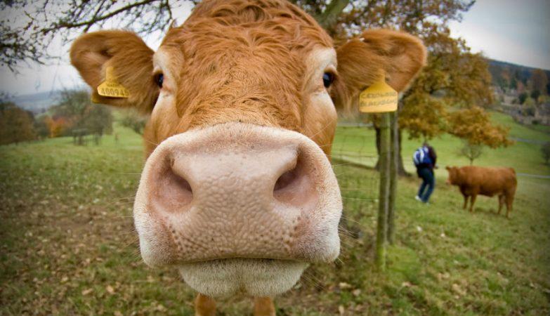 Americanos acham que leite com chocolate vem de vacas castanhas