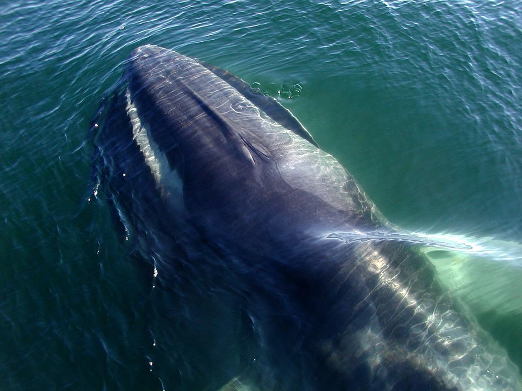 Fin Whale, baleia