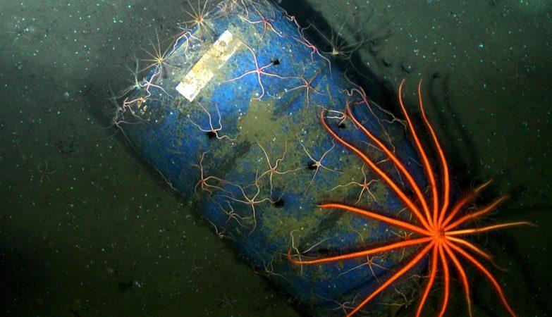 Estrelas do mar num velho barril, captadas pelo ROPOS ROV, da Canadian Scientific Submersible Facility.