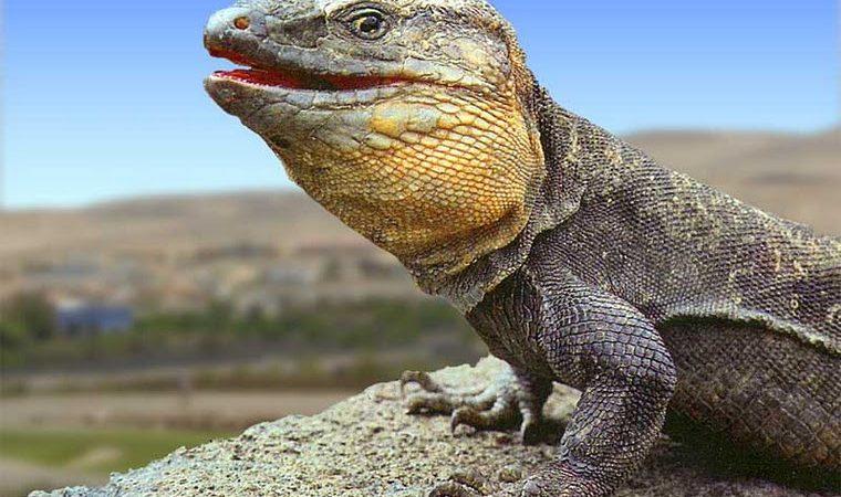 Gallotia Stehlini, o lagarto gigante da Gran Canaria