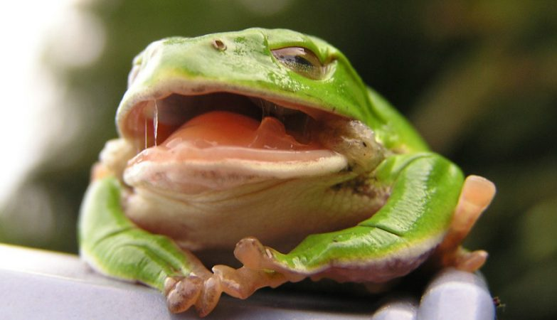 A Ceratophrys ornata é uma espécie de sapo  famosa por apanhar presas de grande tamanho com a língua