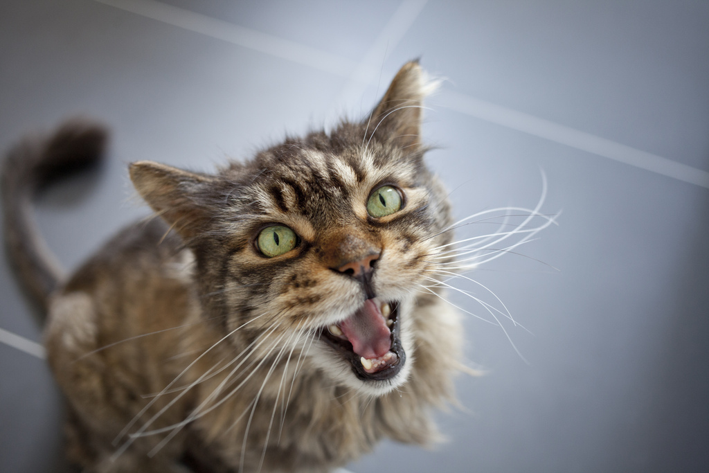 How To Stop A Cat From Meowing For No Re
