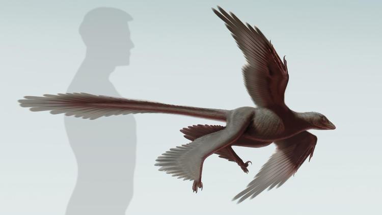 O Changyuraptor yangi, dinossauro com quatro asas e uma longa cauda de penas