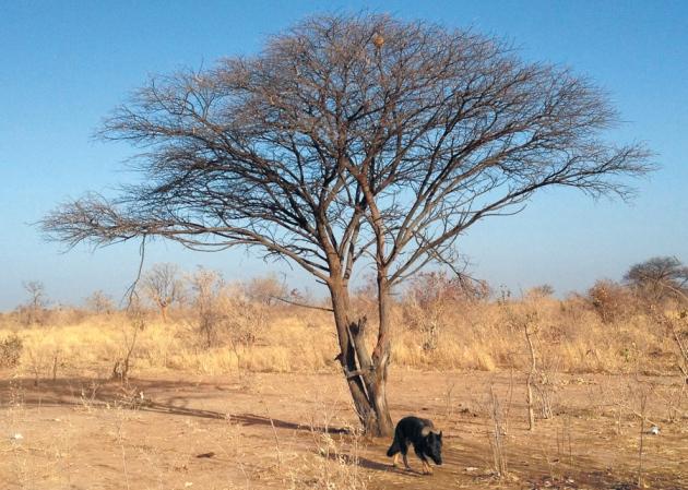 Cão treinado para caçar mosquitos, em acção no Mali