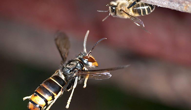 Uma vespa asiática (Vespa velutina) ataca uma abelha