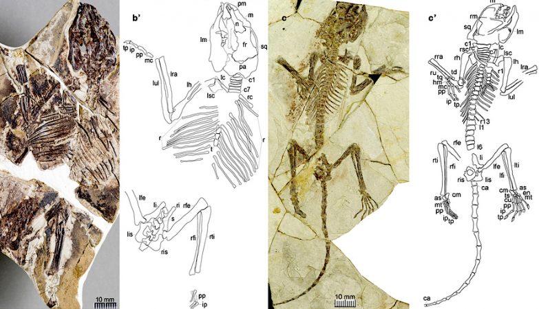 As três novas espécies identificadas nos seis fósseis agora descobertos reforçam a teoria.