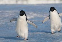 Pinguins-de-adélia vivem atualmente em toda a costa do Antártico
