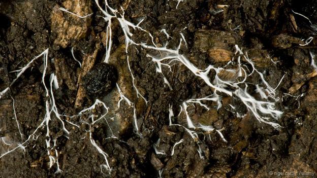 O micélio de um fungo a espalhar-se através do solo