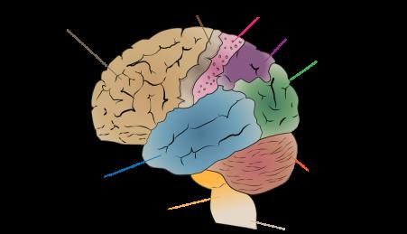 Diagrama do cérebro humano. Córtex parietal posterior a roxo.