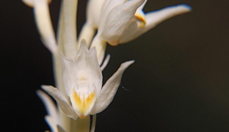 """A orquídea Cephalanthera austiniae, que não tem clorofila, rouba o carbono às outras plantas através da """"internet natural"""""""