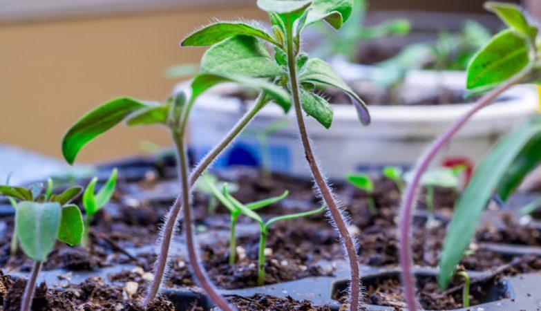 """Os tomates usam a """"internet dos fungos"""" para se defender de doenças"""