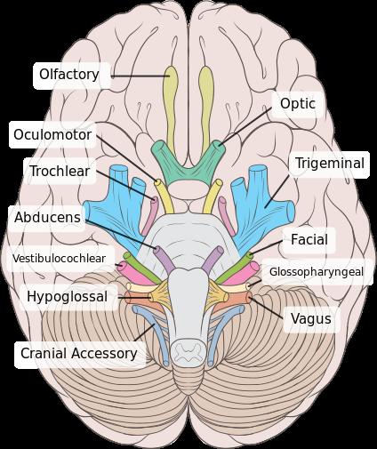 Vista inferior do cérebro humano