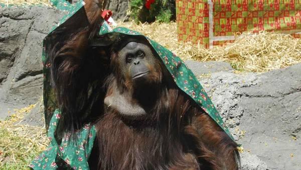 Sandra, a orangotanga do zoo de Buenos Aires