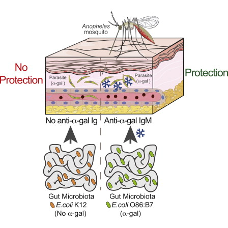 Bactéria do intestino protege contra a malária