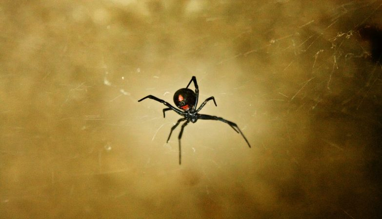 As viúvas negras constroem teias mais fortes do que as aranhas comuns