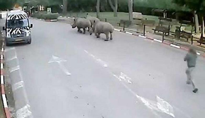 Rinocerontes em fuga de Jardim Zoológico em Israel