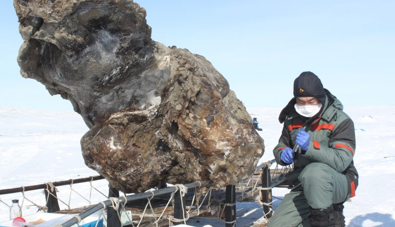 O cientista Semyon Grigoriev junto à carcaça de um mamute fêmea encontrada numa ilha remota da Sibéria em 2013
