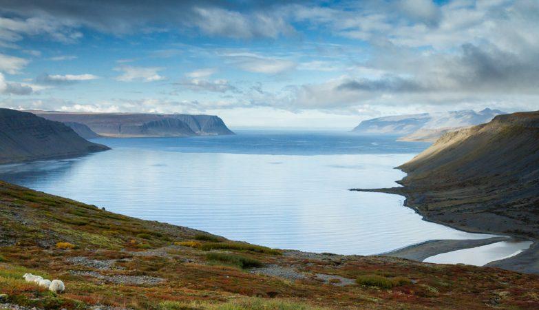 Ovelhas em Trostansfjörður, na islãndia, uma paisagem de cortar a respiração