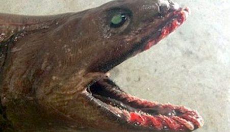 Chlamydoselachus anguineus, o tubarão-enguia
