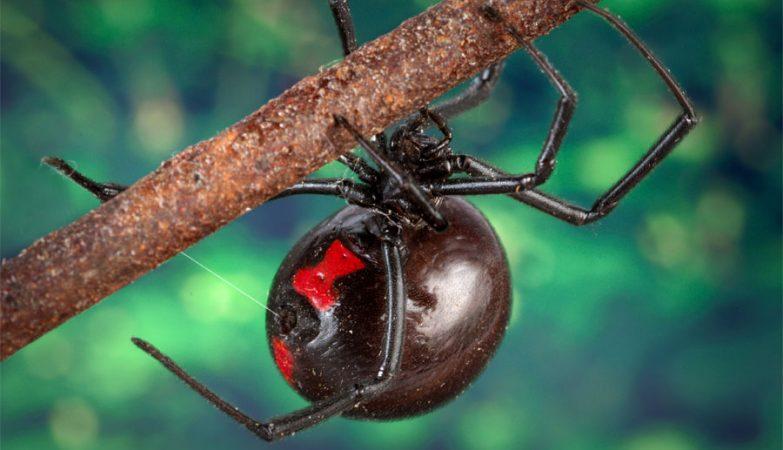 As viúvas negras produzem alfa-latrotoxinas, substância esta que toma conta do sistema nervoso central das vítimas, dominando-o