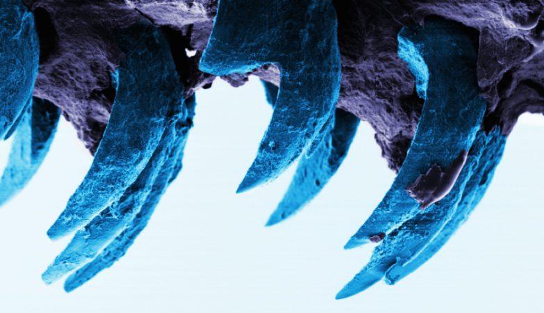 Visão microscópica dos dentes da lapa