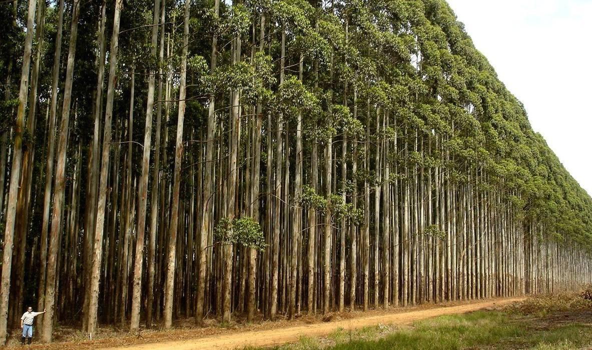 A Ibero Massa Florestal está a usar essencialmente espécies invasoras, como a acácia, e restos de limpeza das matas, para produzir biocarvão