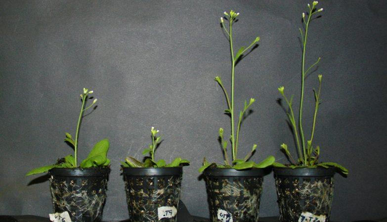 A Arabidopsis thaliana é sensível ao toque, mas a variação mutante que não tem o gene AtGA2ox7 perde a sensibilidade ao toque