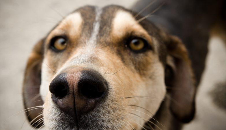 Os cães têm dez vezes mais receptores olfactivos do que os humanos