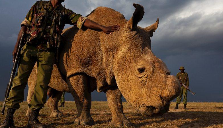 Sudan, o último rinoceronte-branco do norte macho do mundo