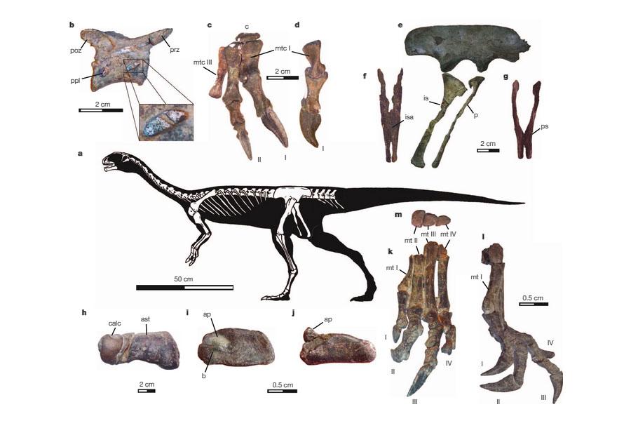 Composição anatómica do Chilesaurus diegosuarezi, nova espécie de dinossauro encontrada no Chile