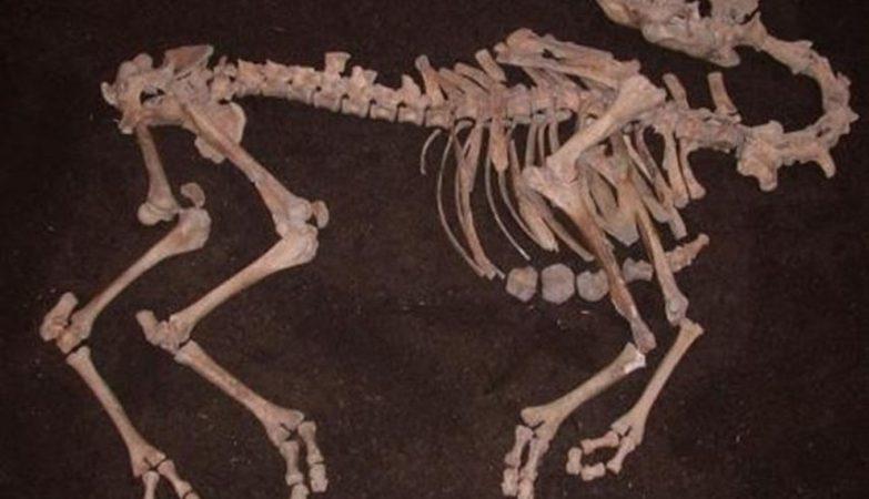 Esqueleto completo de camelo