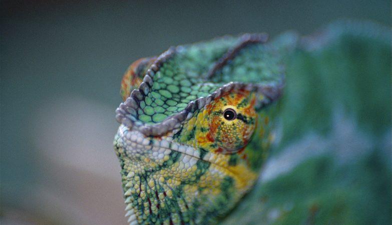 Um Furcifer pardalis, ou camaleão-pantera