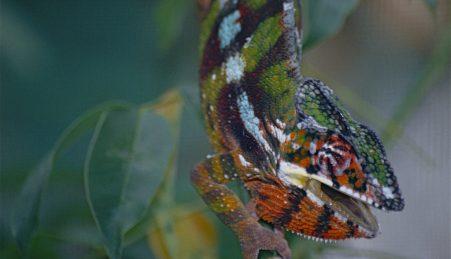 O camaleão-pantera distingue-se pelas suas cores extraordinárias