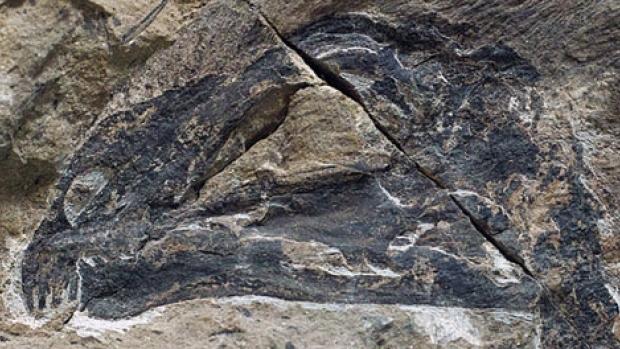 Crânio fossilizado do Yi qi, que provavelmente comia insectos, pequenos pássaros e frutas