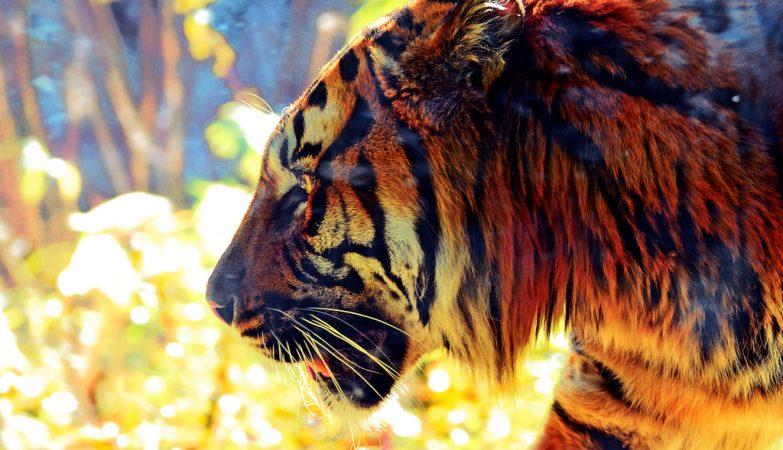 O Tigre de Sumatra, uma espécie rara habitante ilha indonésia com o mesmo nome, está ameaçado de extinção