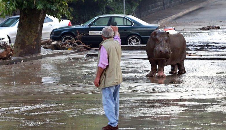 Um hipopótamo à solta nas ruas de Tblissi, Georgia.