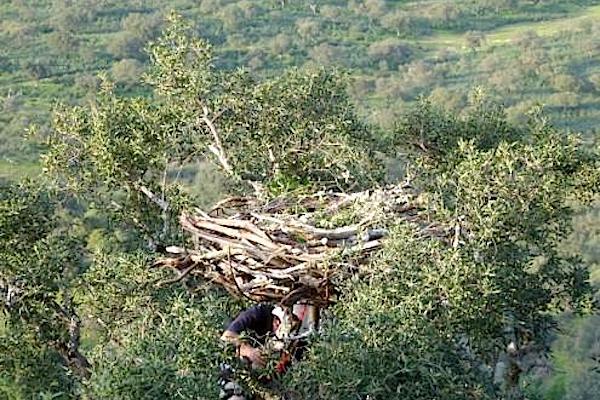 Instalação de um ninho artificial para abutre-preto