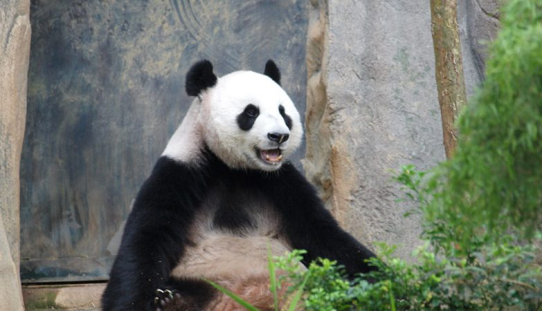 Jia Jia, aos 37 anos, tornou-se a panda gigante mais velha em cativeiro.