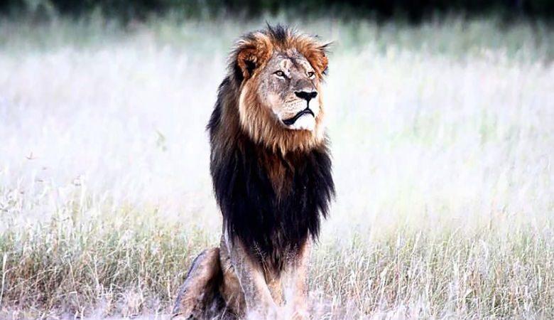 Cecil, o Leão do Zimbabué