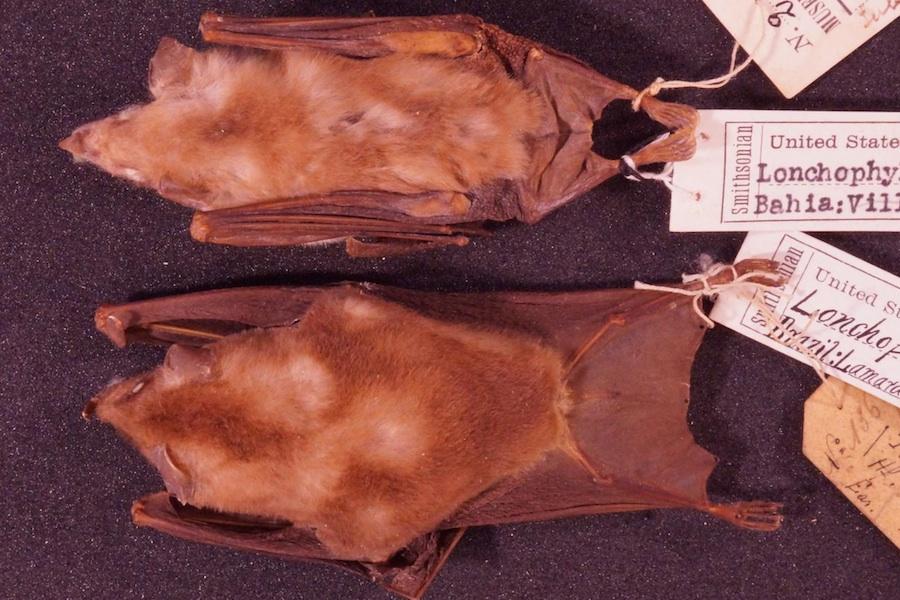 A espécie L. inexpectata (acima) comparada com a espécie L. mordax