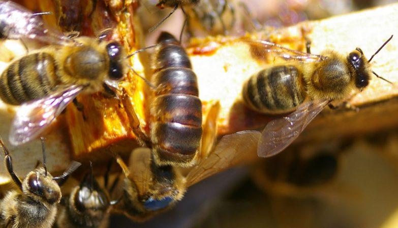 mel de abelhas causa diabetes mellitus