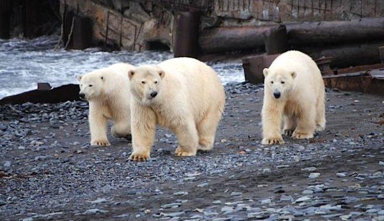 Os ursos polares não costumam atacar humanos, mas casos como este têm-se tornando mais frequentes