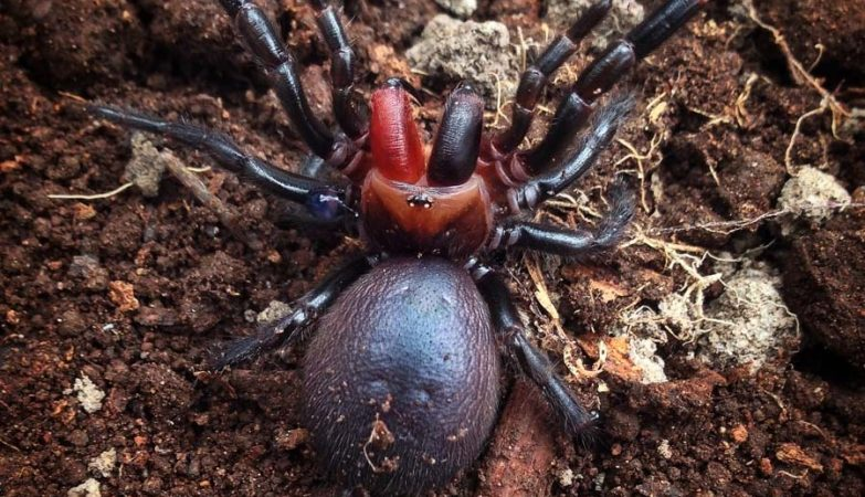Aranha rara com presas vermelhas descoberta na Austrália.