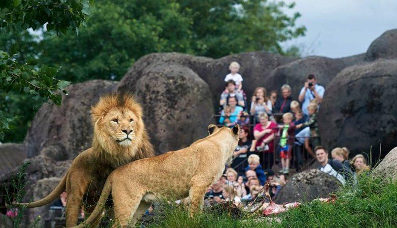 Leões no Zoo de Odense, na Dinamarca