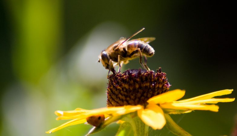 As abelhas compreendem a noção de 'zero', o número que representa a inexistência de algo, à semelhança dos golfinhos, papagaios ou os primatas.